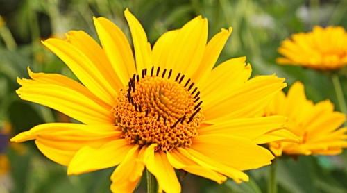 arnica flor detalle
