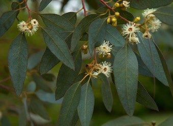 eucalipto hojas
