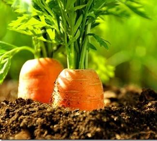 aceite esencial de zanahoria planta