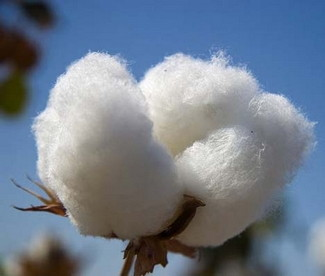 aceite esencial planta de algodon