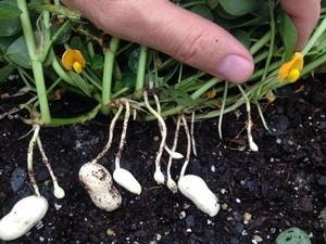 planta de cacahuete