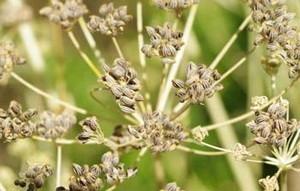 semillas de perejil para aceite