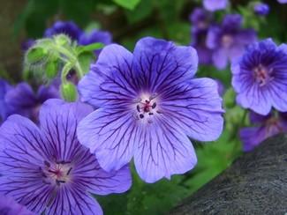 aceite de geranio flor