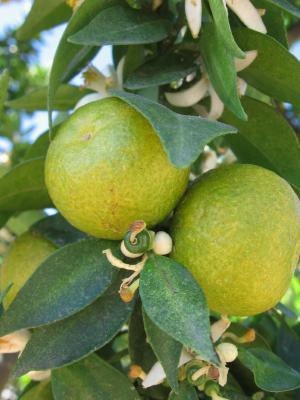 Bergamota árbol