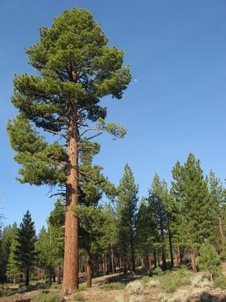 pino árbol