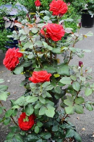 rosas planta