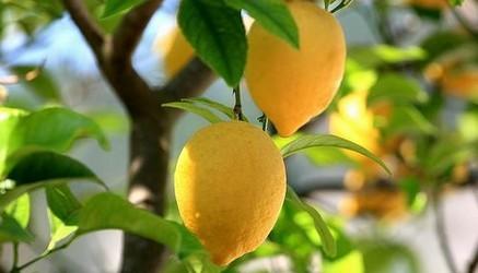 limones-en-arbol