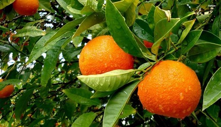 naranjas-en-arbol