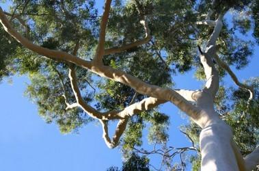 eucalipto arbol